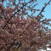 あざみ野に河津桜が1人、健気に咲いてます。